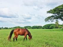 Brown horse eating grass. Horse eating grass Royalty Free Stock Photography