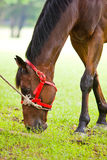 Brown horse eating grass Royalty Free Stock Images