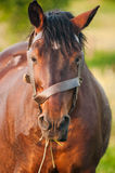Brown Horse Eating Grass. A beautiful brown horse eating grass and looking at camera Stock Image