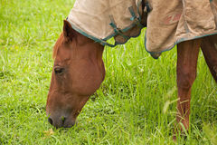 Brown horse eating grass on the farm Stock Image