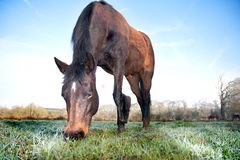 Brown Horse Eating Grass in a Field Stock Image