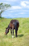 Brown horse eating grass on the field Royalty Free Stock Image