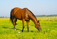 Brown horse are eating grass in a field. On a background of blue sky Royalty Free Stock Photography