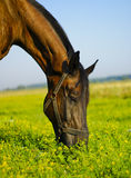 Brown horse eating grass in a field. On a background of blue sky Stock Photos