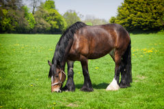 Brown horse eating grass on the field Royalty Free Stock Photos