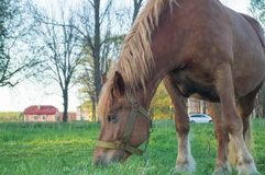 Brown horse eating grass on the field Royalty Free Stock Photography