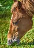 Brown horse eating grass on the field with Stock Photo