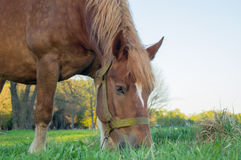 Brown horse eating grass on the field Stock Photos