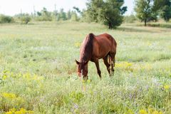 Brown horse eating grass on the field. Horse in the field at the evening Royalty Free Stock Images
