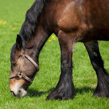 Brown horse eating grass on a field Royalty Free Stock Image