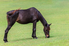 Brown horse eating grass in green field Stock Photo