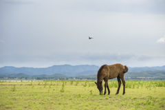 Brown horse eating grass on green field. Background with blue mountain and dark cloud royalty free stock photos
