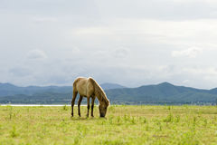 Brown horse eating grass on green field. Brown horse running on green field background with blue mountain and dark cloud stock images