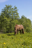 A brown horse eating grass on a green meadow in Finland. It is a very beautiful summer day and the sun shines. The field also has yellow flowers Stock Photography