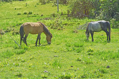 Brown horse eating grass on a green meadow Royalty Free Stock Photography