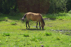 Brown horse eating grass on a green meadow Royalty Free Stock Photo