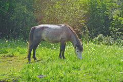 Brown horse eating grass on a green meadow Stock Images