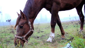 Brown horse eating stock video footage