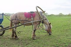 Brown horse eating grass and at the same time it is harnessed to a cart. Brown horse eating grass and at the same time it is harnessed to a cart stock image