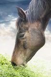 Brown horse eating grass on sky background Royalty Free Stock Photography