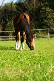 Brown horse. Eating the grass on a summer day,  on a wooden fence Royalty Free Stock Photo
