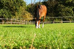 Brown horse. Eating the grass on a summer day,  on a wooden fence Stock Image