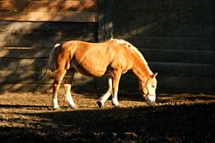 Brown horse Royalty Free Stock Photography