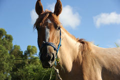 Brown Horse Eating Grass in Uruguay Royalty Free Stock Image