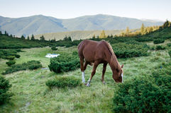 Brown horse eating grass Stock Image