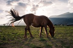 Brown Horse Eating in a Green Field at Sunset. Brown Horse Grazing in a Green Field at Sunset with Mountains in the Background Stock Photo