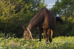 Brown horse eating the green grass in the forest Royalty Free Stock Photography