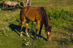 Brown horse eating green grass Stock Photo