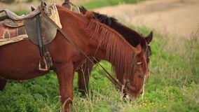 Brown horse eating green grass slow motion
