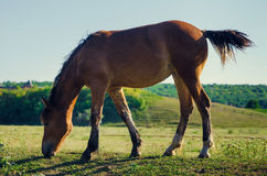 Brown horse eating green grass and swish tail Stock Image