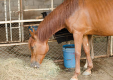 Brown horse eating hay. Brown horse eating dry hay Royalty Free Stock Image