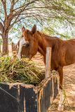 Brown horse eating hay straw, grass stock image