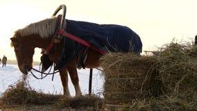 Brown horse eating hay stock video footage