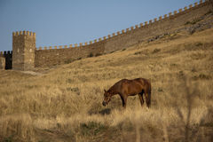 Brown Horse. Brown eating horse near the castle wall on a clear day in summer in Crimea, Ukraine Stock Images