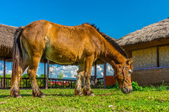 Brown horse is eating some grass. The horse is in Chinese village, Northern Thailand Stock Photos