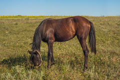 Brown horse is eating some grass. In field. Ukraine Stock Photo