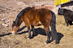 Brown horse eating straw Stock Photography
