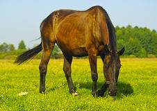 Brown horse eats grass in a field. On a background of blue sky Stock Images