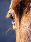 Brown horse eye. Close up Royalty Free Stock Photography