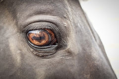 Brown horse eye Stock Images