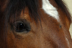 Brown horse eye close-up Royalty Free Stock Images