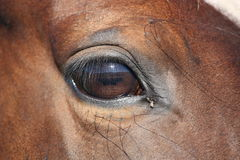 Brown horse eye close up Stock Images