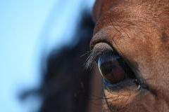 Brown horse eye close up Stock Image
