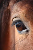 Brown horse eye close up Royalty Free Stock Photography