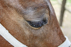 Brown horse eye Royalty Free Stock Photos