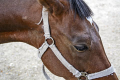 Brown horse eye Stock Photography